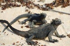 Marine Iguanas - Galapagos - Ecuador Royaltyfri Fotografi