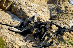 Marine Iguanas. In Galapagos - Ecuador royalty free stock photo