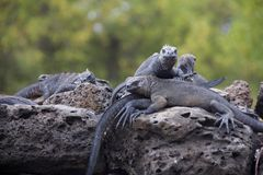 Marine iguanas only on the Galapagos Islands Royalty Free Stock Images