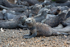 Marine iguanas in Galapagos islands Stock Photos
