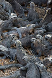 Marine iguanas in Galapagos islands Stock Image