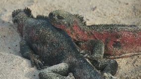 Marine Iguanas in Galapagos Islands Royalty Free Stock Image