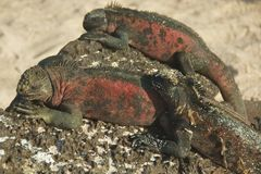 Marine Iguanas in Galapagos Islands Royalty Free Stock Photos