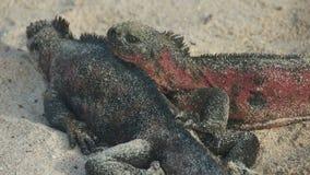 Marine Iguanas in Galapagos Islands Royalty Free Stock Image