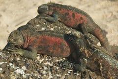 Marine Iguanas in Galapagos Islands Royalty Free Stock Photos