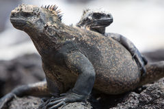 Marine iguanas in Galapagos islands Stock Photo