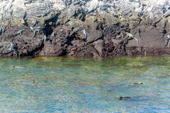 Marine Iguanas i Galapagos Royaltyfri Foto