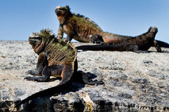 Marine iguanas on a rock in the Galapagos Islands Stock Photography