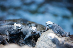Marine iguanas on rocks Stock Photo