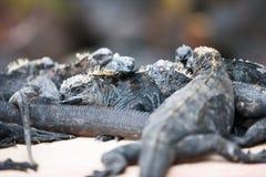 Marine iguanas on rocks Royalty Free Stock Photography