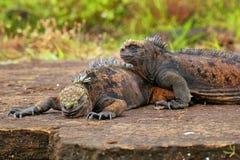Marine iguanas on Santiago Island in Galapagos National Park, Ec Royalty Free Stock Image
