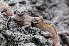 Marine iguanas on Santiago Island in Galapagos National Park, Ec Royalty Free Stock Photo
