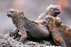 Marine iguanas on Santiago Island in Galapagos National Park, Ec royalty free stock photos