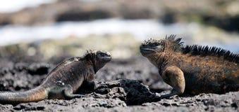 Marine iguanas are sitting on rocks. The Galapagos Islands. Pacific Ocean. Ecuador. Royalty Free Stock Photography