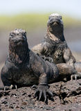Marine iguanas are sitting on rocks. The Galapagos Islands. Pacific Ocean. Ecuador. An excellent illustration royalty free stock photos