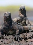 Marine iguanas are sitting on rocks. The Galapagos Islands. Pacific Ocean. Ecuador. Royalty Free Stock Photos