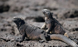 Marine iguanas are sitting on rocks. The Galapagos Islands. Pacific Ocean. Ecuador. An excellent illustration stock image