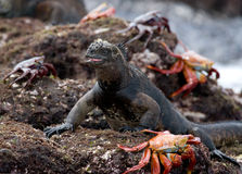 Marine iguanas are sitting on the stones together with crabs. The Galapagos Islands. Pacific Ocean. Ecuador. Stock Photo