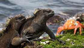 Marine iguanas are sitting on the stones together with crabs. The Galapagos Islands. Pacific Ocean. Ecuador. Royalty Free Stock Photos