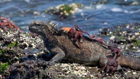 Marine iguanas are sitting on the stones together with crabs. The Galapagos Islands. Pacific Ocean. Ecuador. Stock Image