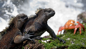 Marine iguanas are sitting on the stones together with crabs. The Galapagos Islands. Pacific Ocean. Ecuador. Royalty Free Stock Images