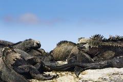 Marine Iguanas som ligger på jordningen Arkivbild