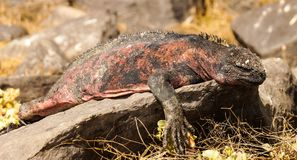Marine Iguanas sunbathing in Galapagos Island. royalty free stock images