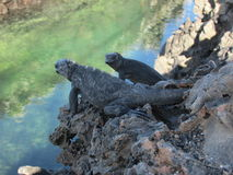 Marine iguanas Stock Photo