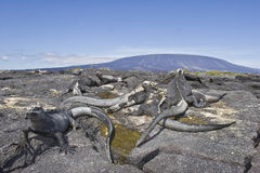 Marine iguanas and volcano Stock Photo