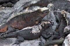 Marine iguanas warming up in the sun. On Fernandina Island, Galapagos Stock Photography