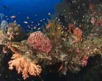 Marine life. Attached and living on The USS Liberty ship, and world war 2 Liberty ship sunk off the coast of Tulamben, bali Royalty Free Stock Photography