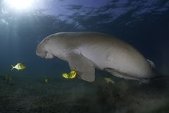 Marine life. A manatee and fish underwater Stock Photography