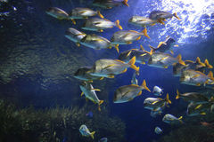 Marine life. Underwater image of reef and colorful fishes Royalty Free Stock Image