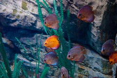 Marine life in the aquarium royalty free stock images