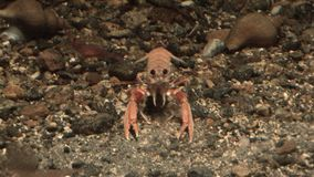 Marine life - Crabs in the aquatic environment - Video high definition. Real time stock video footage