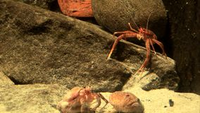 Marine life - crabs in the aquatic environment - video high definition. Real time stock footage