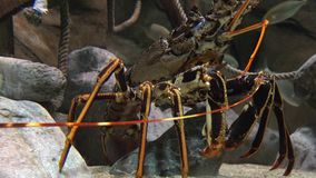 Marine Life Crustacean stock footage