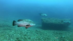 Marine life - Grouper fishes swimming quietly. Underwater scene of the Mediterranean sea marine life - Scuba  diving in Majorca Spain stock video footage
