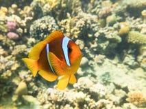 Marine Life i Röda havet Royaltyfria Bilder
