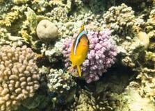 Marine Life i Röda havet Arkivfoto