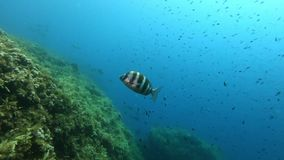 Marine life - Imperial breams swimming in a reef. Underwater scene of the Mediterranean sea marine life - Scuba  diving in Majorca Spain stock video