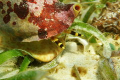 Marine life mollusk Atlantic triton trumpet head Stock Images