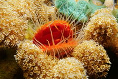 Marine life mollusk Flame scallop with coral Royalty Free Stock Photo