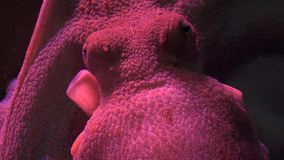 A Marine Life Octopus. Fish and marine life underwater stock footage