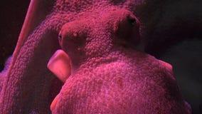 Marine Life Octopus stock footage