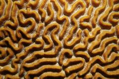 Marine life pattern of symmetrical brain coral Stock Photo