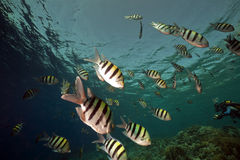 Marine life in the Red Sea. Royalty Free Stock Photos