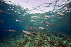 Marine life in the Red Sea. Royalty Free Stock Image