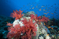 Marine life in the Red Sea. Stock Photo