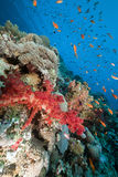 Marine life in the Red Sea. Royalty Free Stock Images